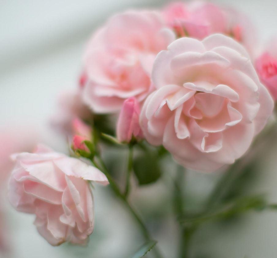 Rose Petals_2