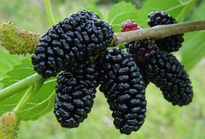 black-mulberry